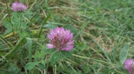 purple clover